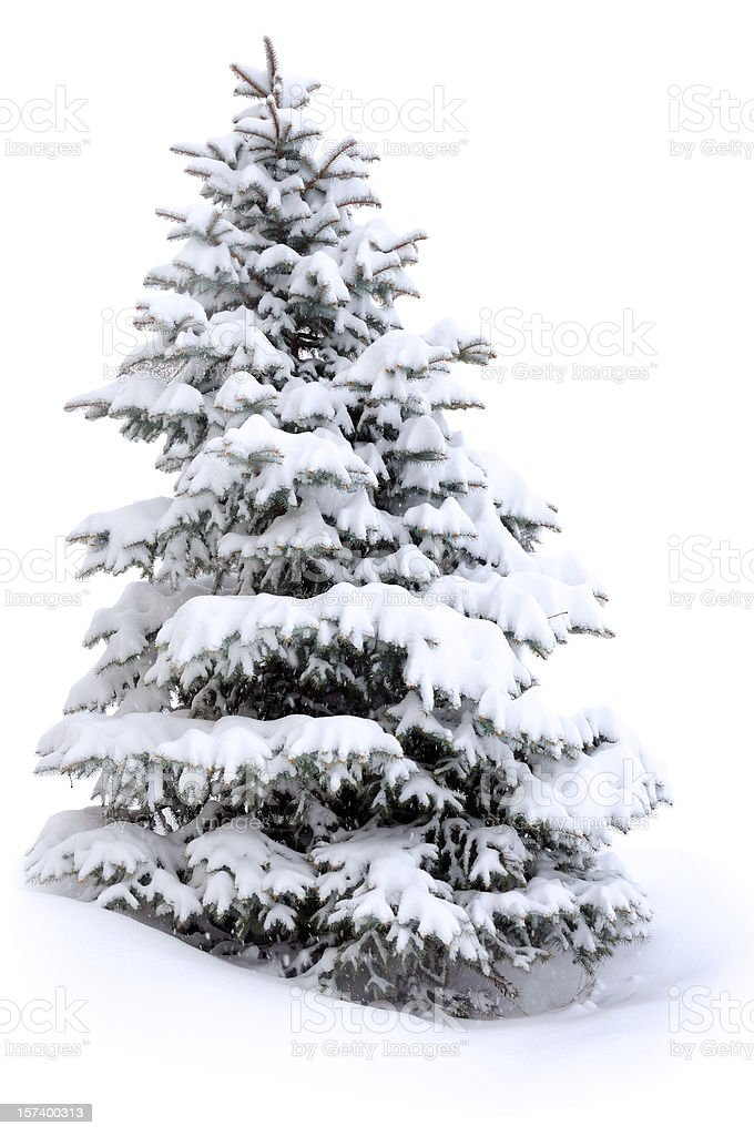 Pine tree in snow stock photo