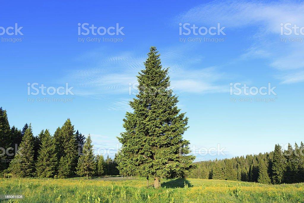 Pine Tree In Spring stock photo