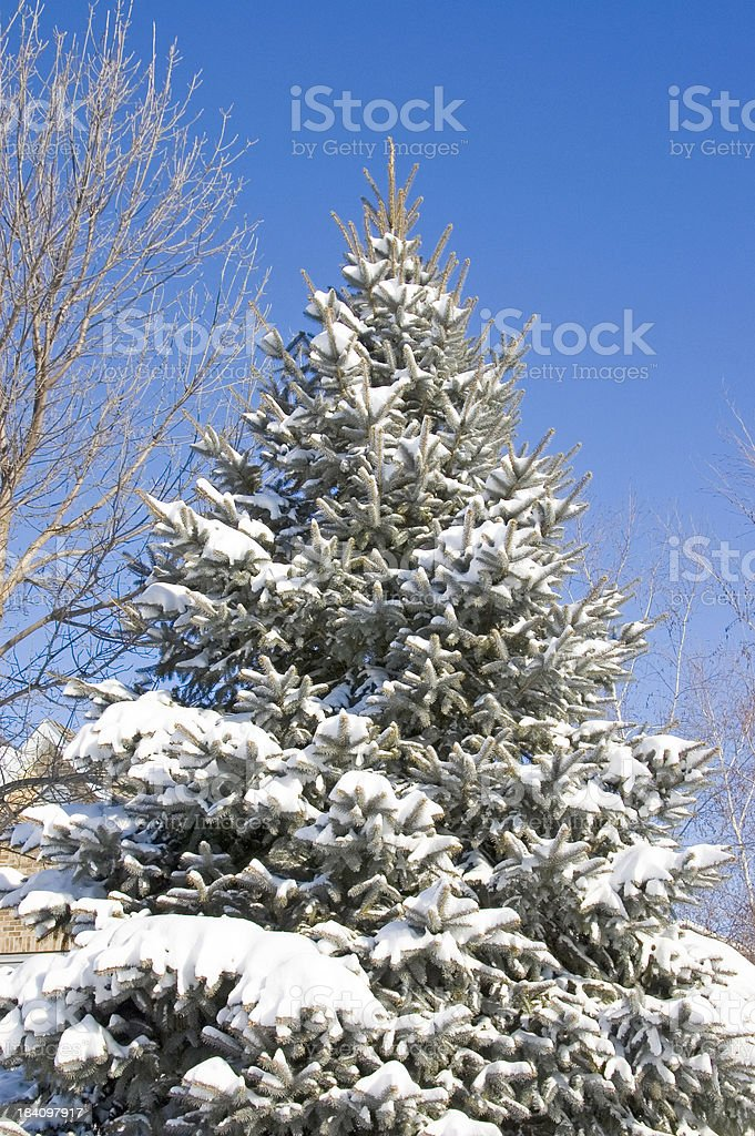 Pine tree in the snow. royalty-free stock photo