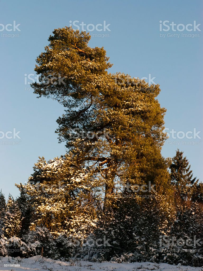 Pine tree in winter landscape with snow and blue sky stock photo