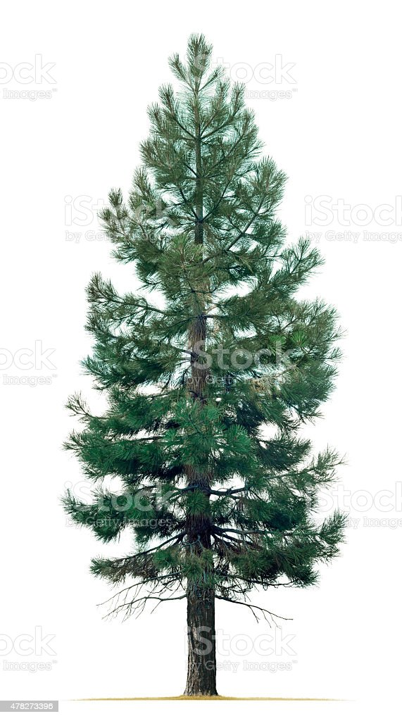 Pine Tree Isolated On White Background stock photo
