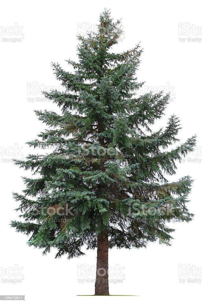 Pine Tree Isolated On White Background stock photo