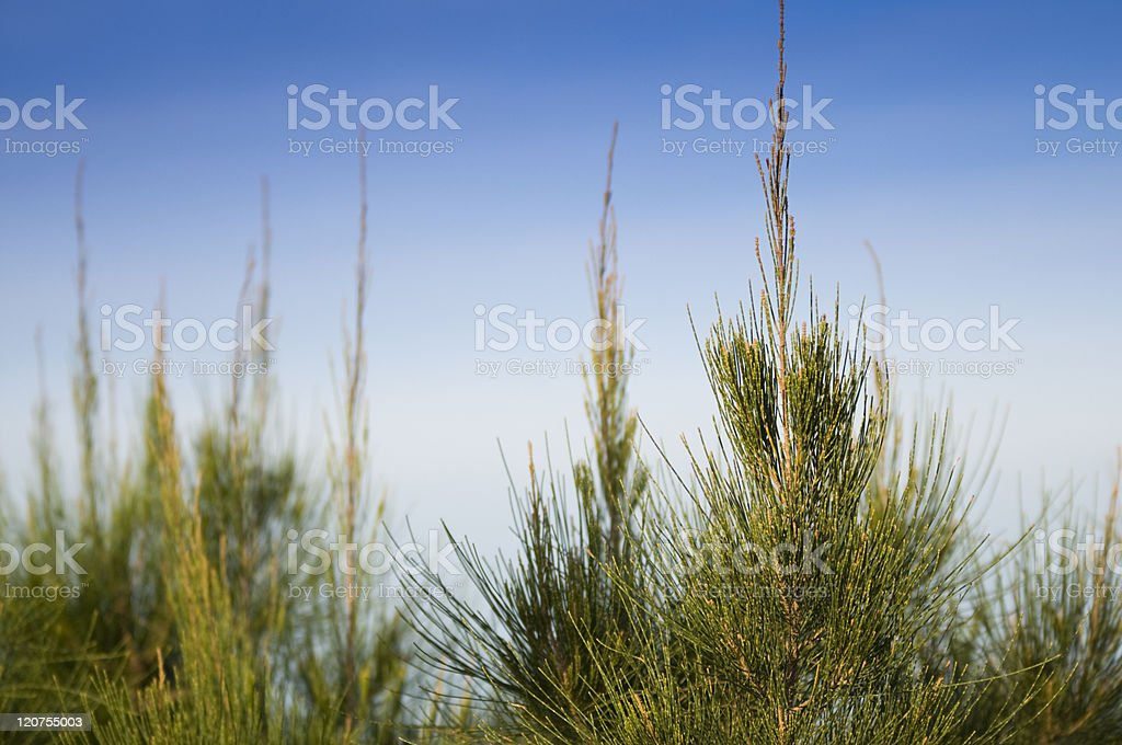 Pine tree leaf detail royalty-free stock photo