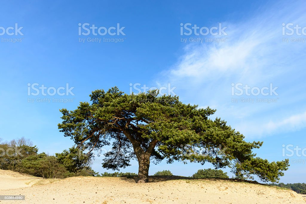 Pine tree on a sand dune in a nature reserve stock photo