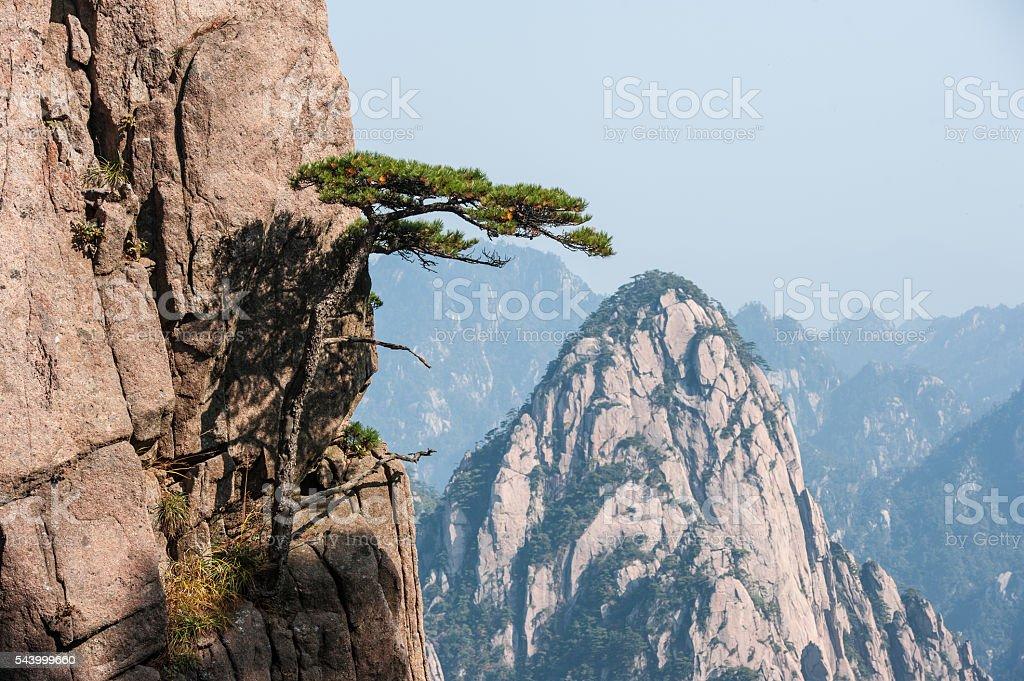 Pine tree on cliff edge, Huangshan Mountain Range in China stock photo