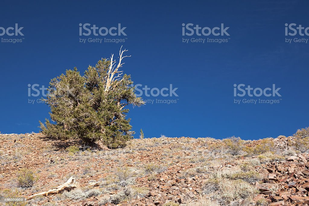 Pine Tree on Mountain Slope royalty-free stock photo