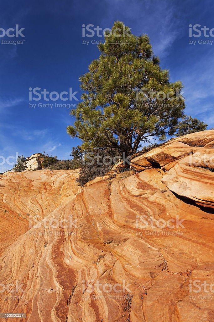 Pine Tree On Red Rocks royalty-free stock photo