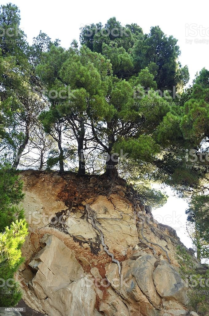 Sosna na skale w Podgora, Chorwacja zbiór zdjęć royalty-free