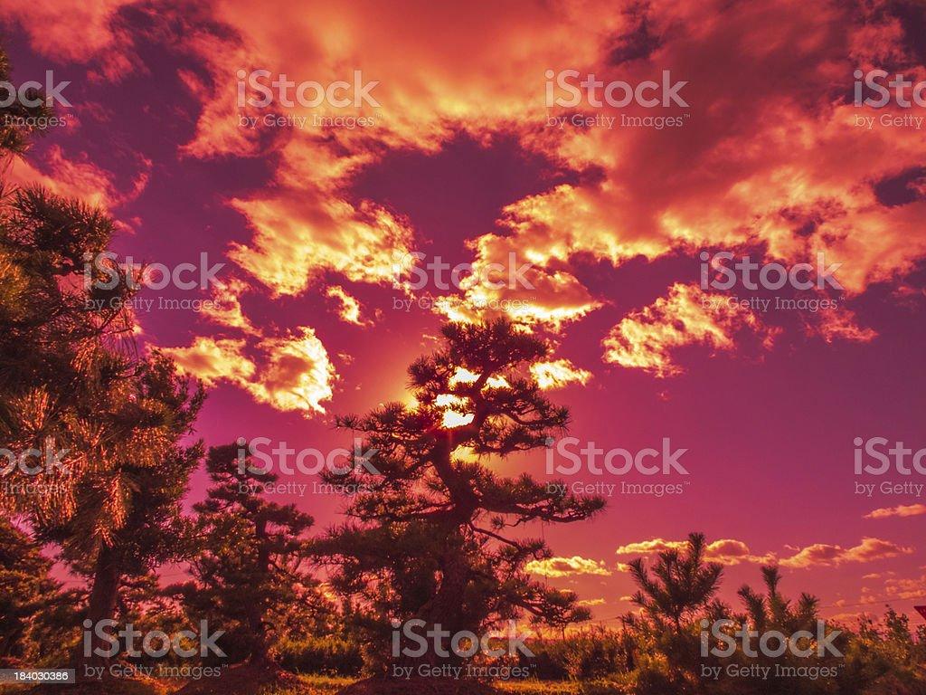 pine tree on sunlight royalty-free stock photo