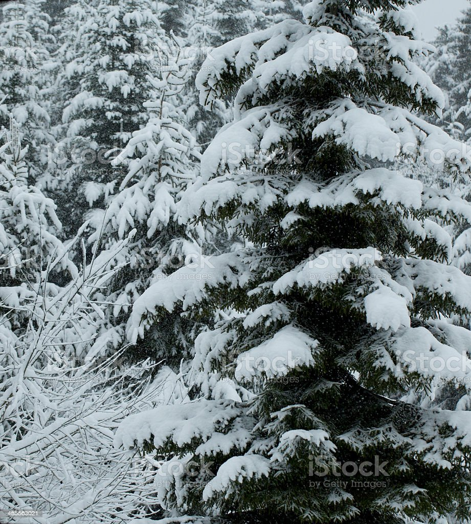 pine tree on The Alps royalty-free stock photo