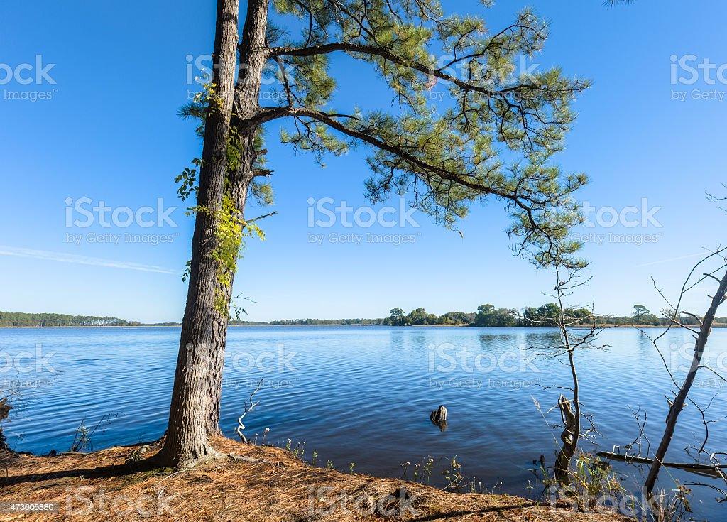 Pine Tree on the Shoreline at Blackwater National Wildlife Refuge stock photo