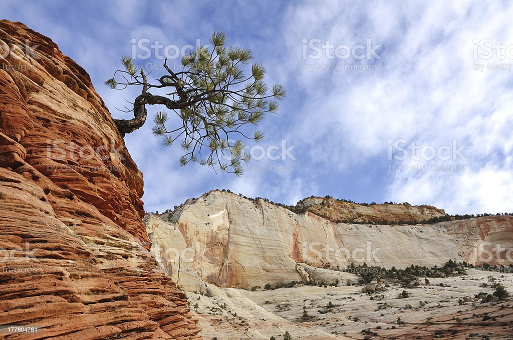 Pine Tree on top of a Sandstone Formation in Zion stock photo