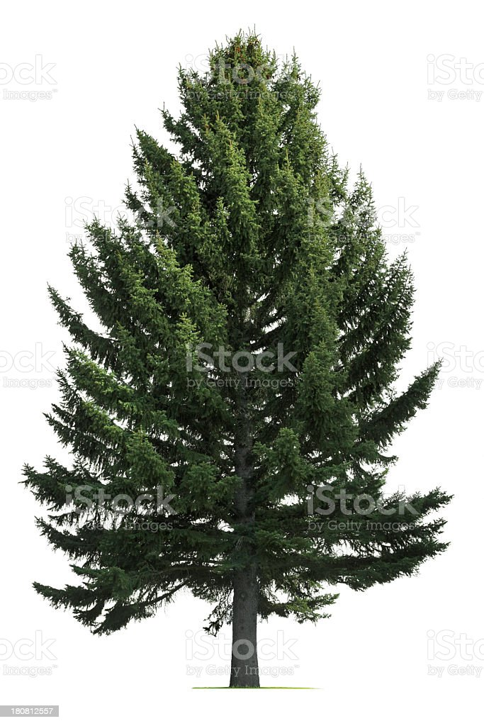 Pine tree on white background stock photo