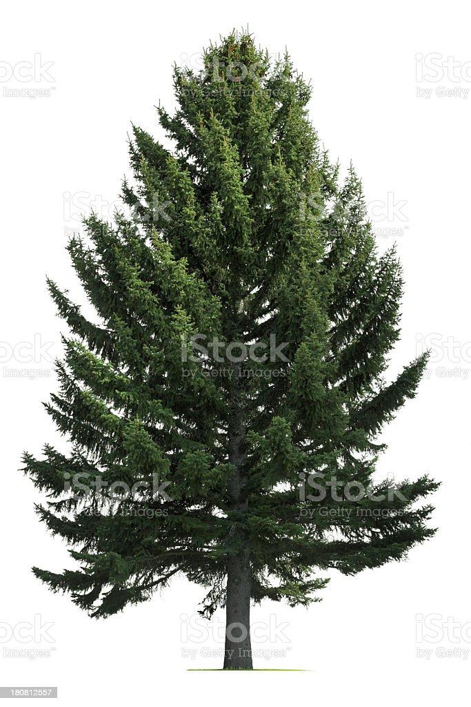 Pine tree on white background stock photo