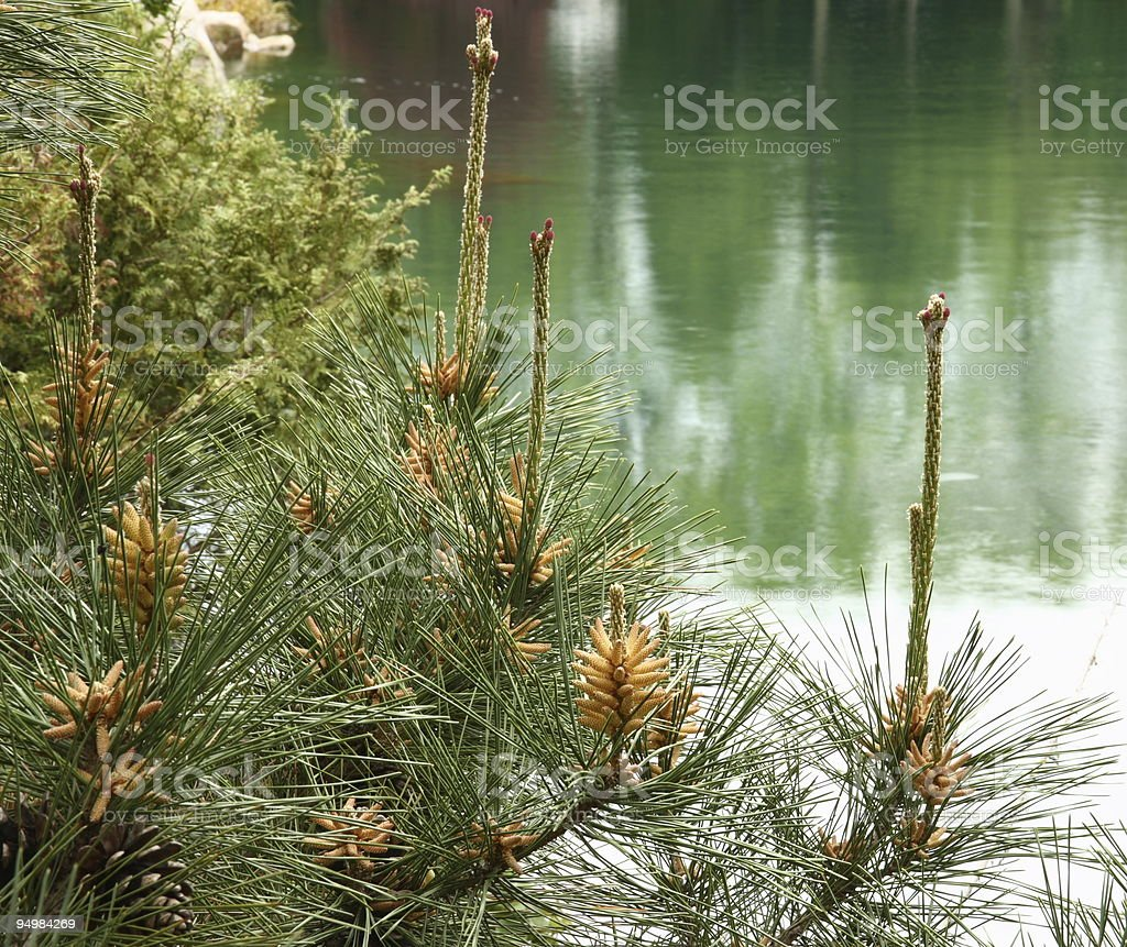 Pine Tree over Pond Reflections stock photo