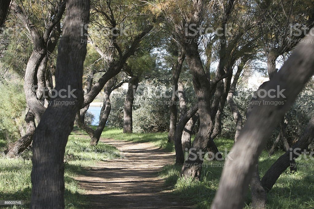 Pine tree path royalty-free stock photo