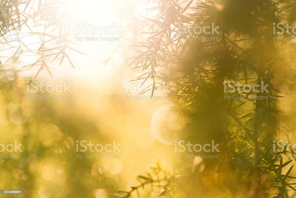 Pine tree stock photo