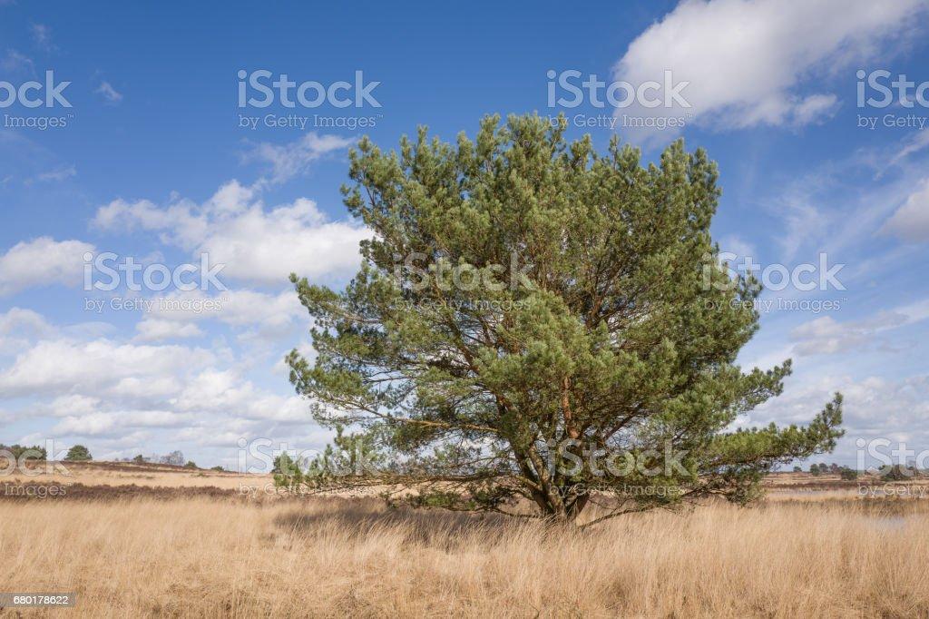 Pine tree. stock photo