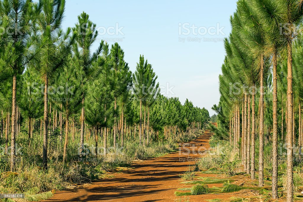 Pine tree plantation stock photo