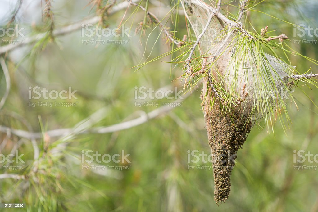 Pine  tree Processionary pollen stock photo