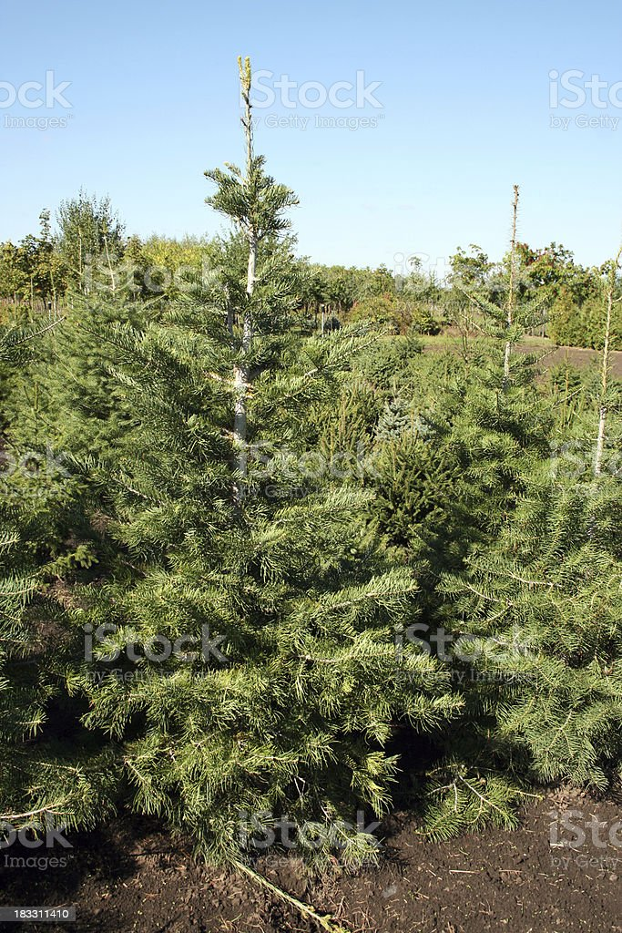 Pine Tree Production royalty-free stock photo