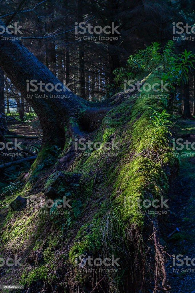 Pine Tree Roots stock photo