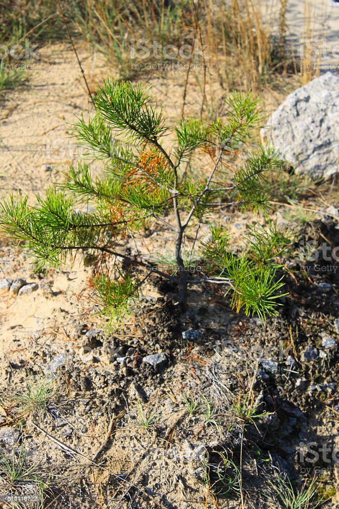 Pine tree sapling in a forest stock photo