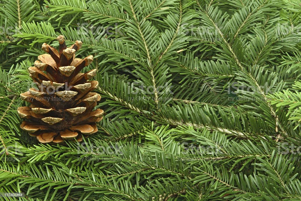 Pine Tree Setting royalty-free stock photo