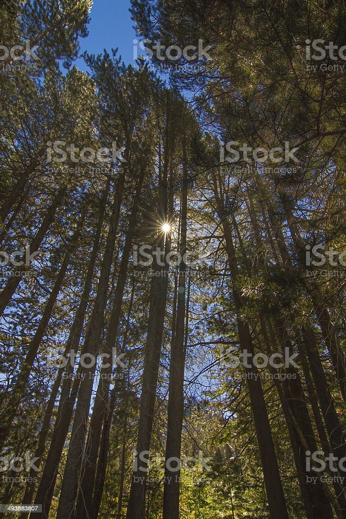 Pine tree star. stock photo