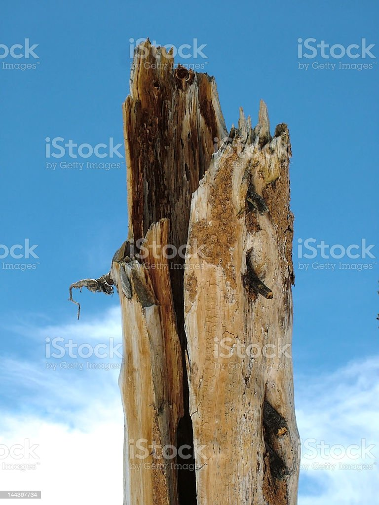 Pine tree stump royalty-free stock photo