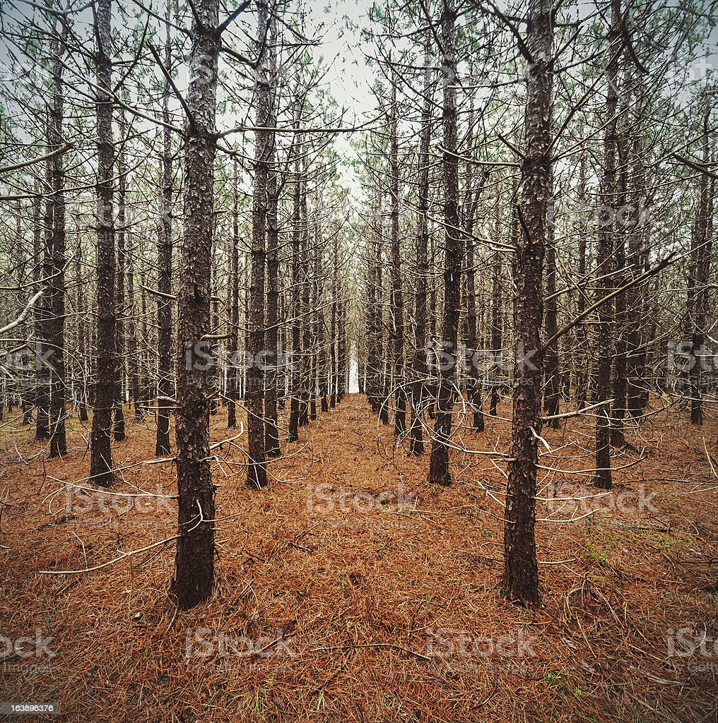 Pine Tree Symmetry royalty-free stock photo