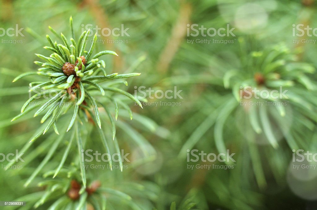 Pine Tree Texture Background stock photo