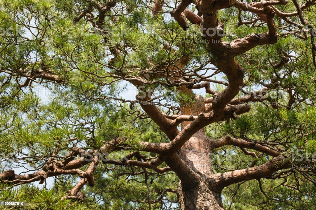 pine tree trunk with twisted branches and needles stock photo