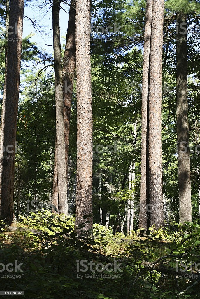 pine tree trunks in a forest in Minnesota royalty-free stock photo