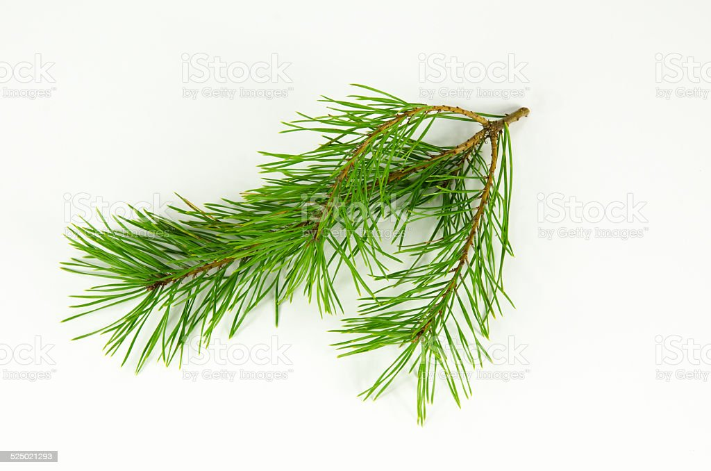 Pine tree twig at white stock photo