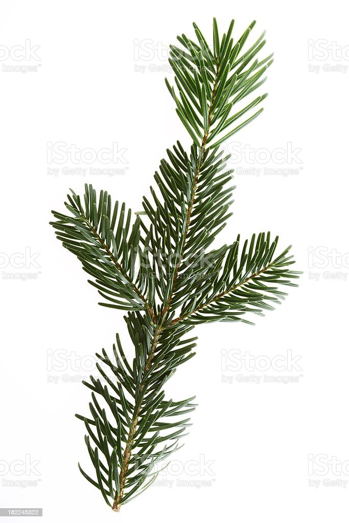 Pine Tree Twig. royalty-free stock photo