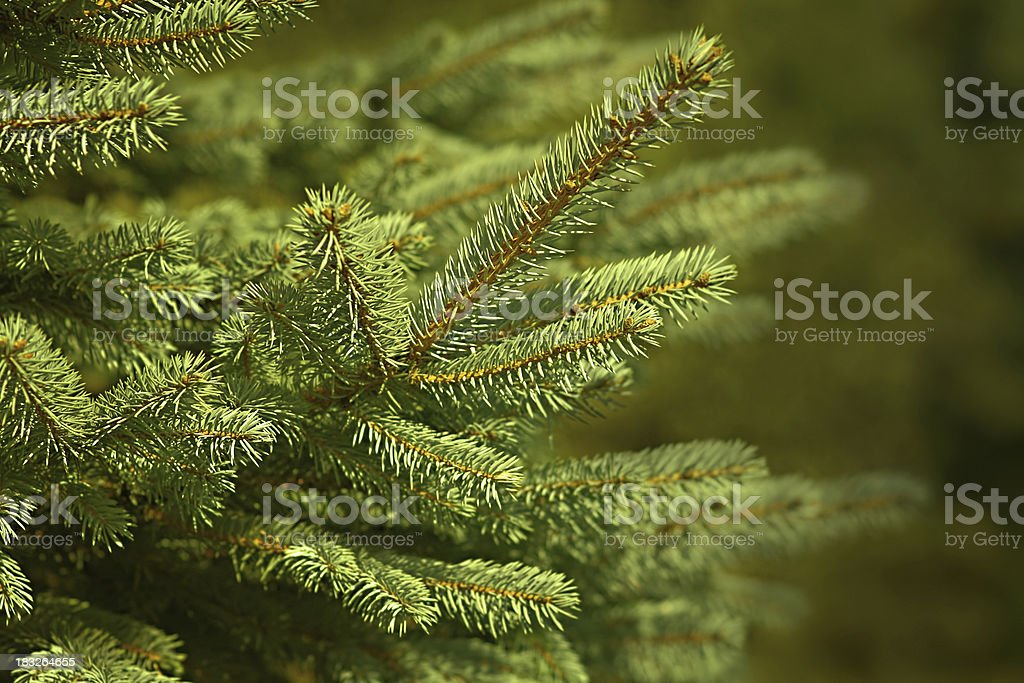 Pine Tree - Twig royalty-free stock photo