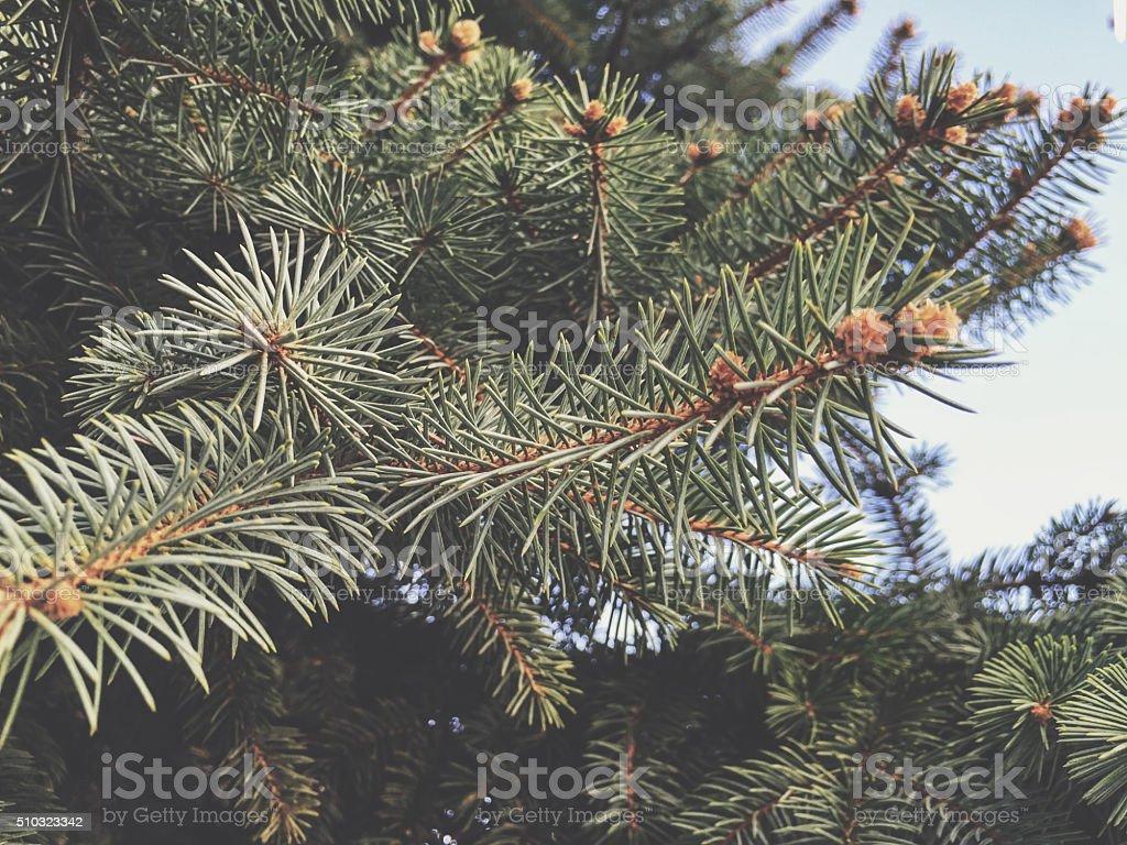 Pine Tree - Twig stock photo