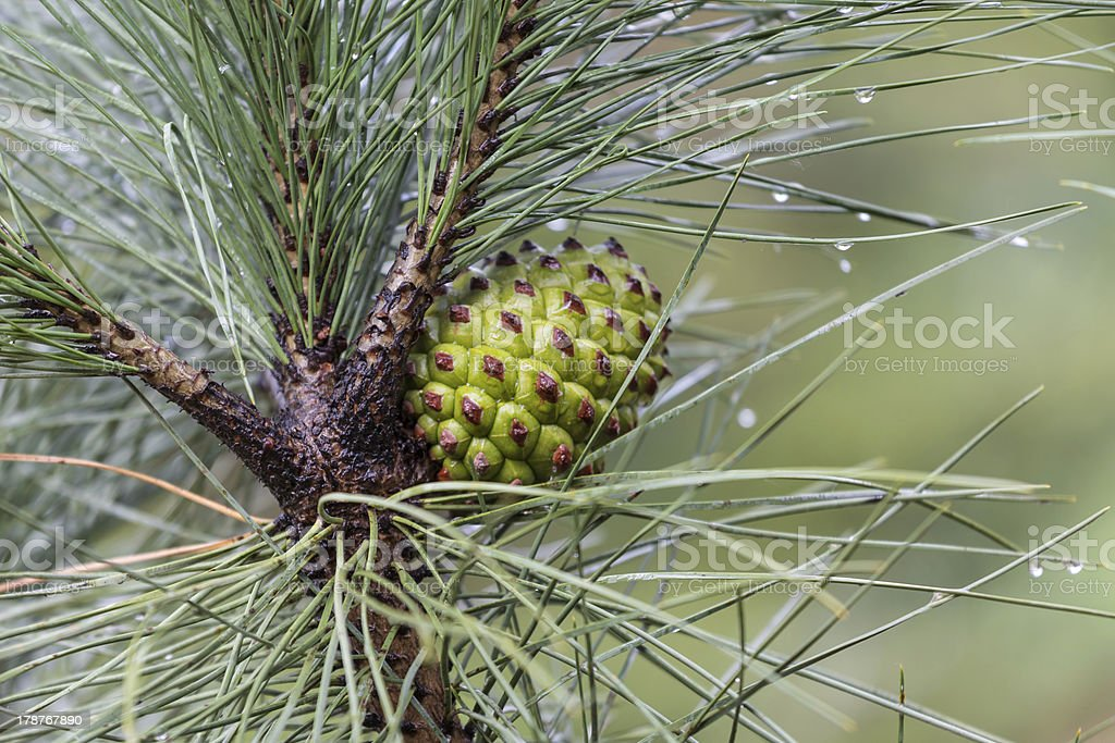 Pine tree with cone after  a rain shower royalty-free stock photo