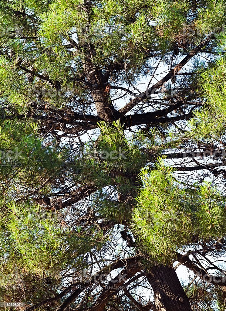 Pine tree with fircones on branches stock photo