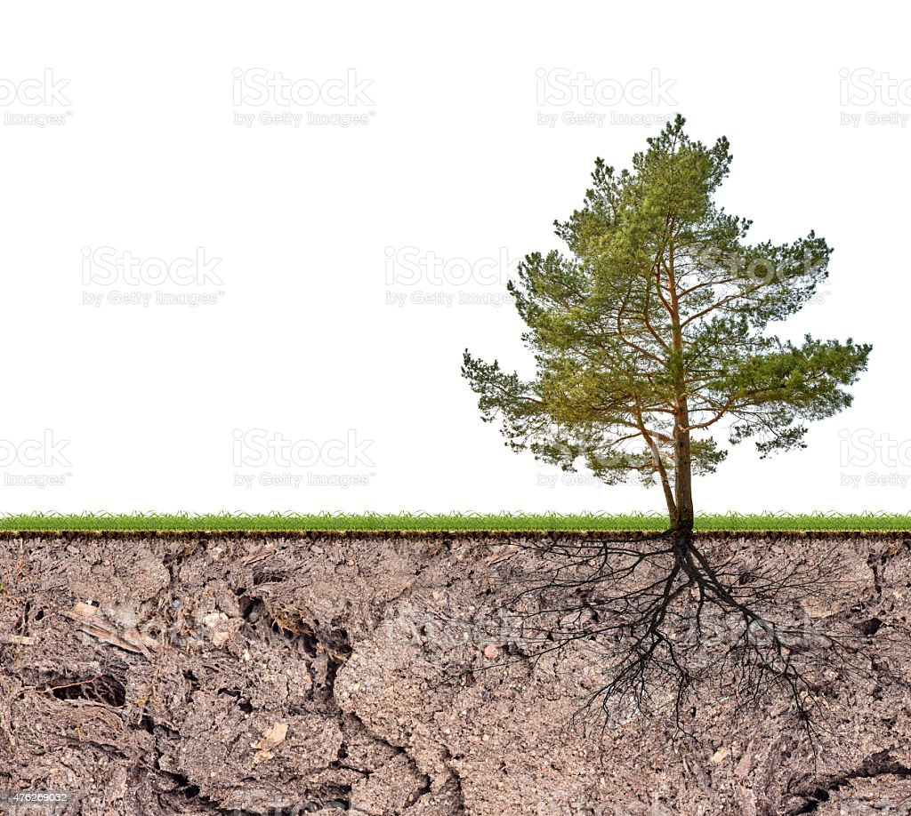 pine tree with root in soil isolated on white stock photo