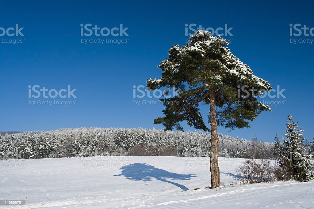 Pine tree with shadow - landscape royalty-free stock photo