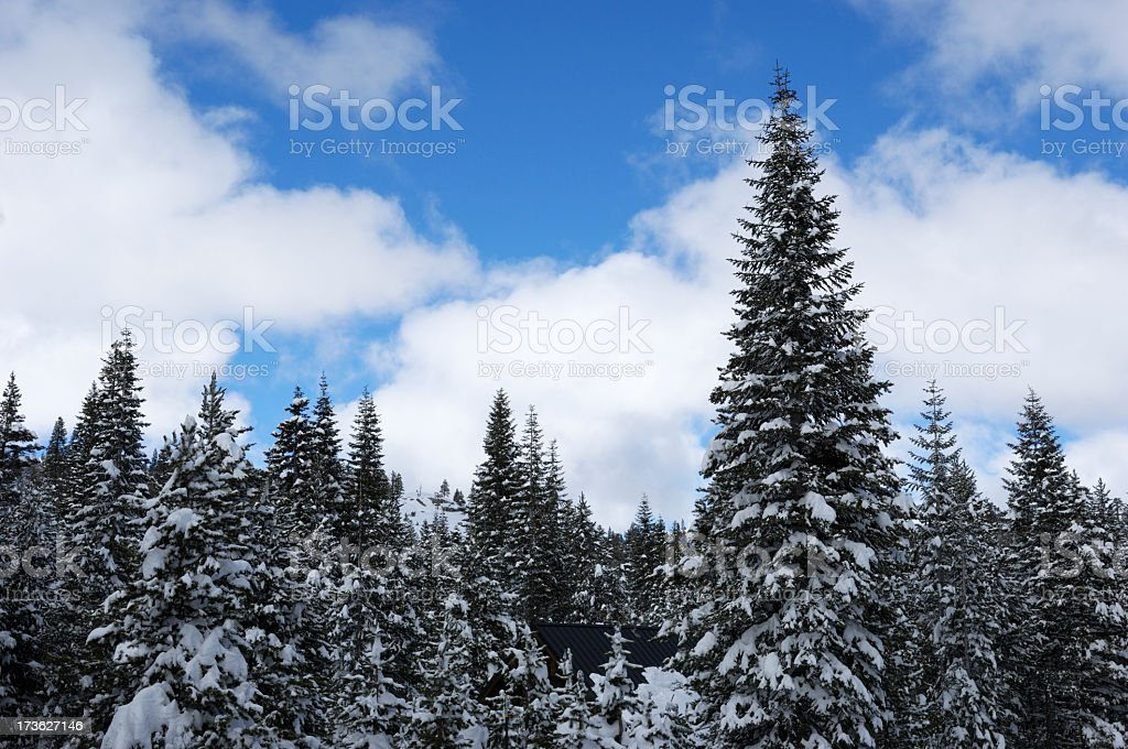 Pine Trees After a Recent Snow Storm royalty-free stock photo