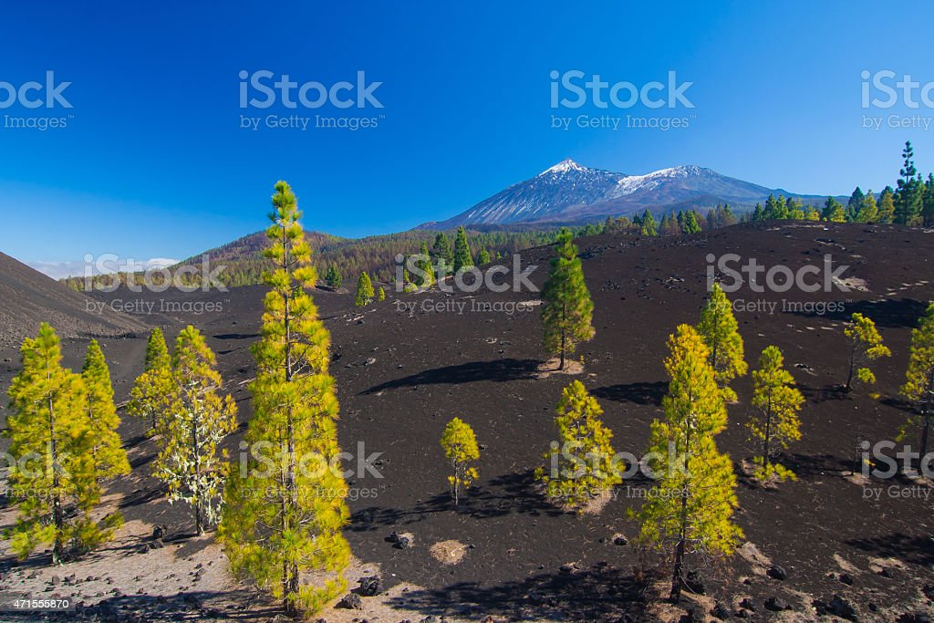 Pine trees and lava field, Pico del Teide, Tenerife, Spain stock photo