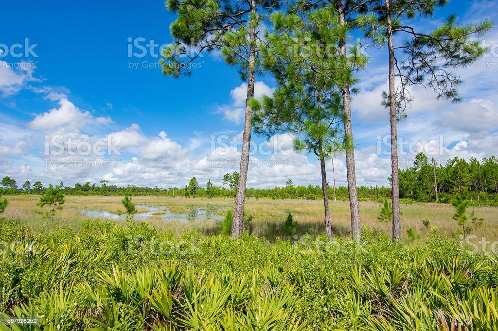 Pine Trees and Palmettos stock photo