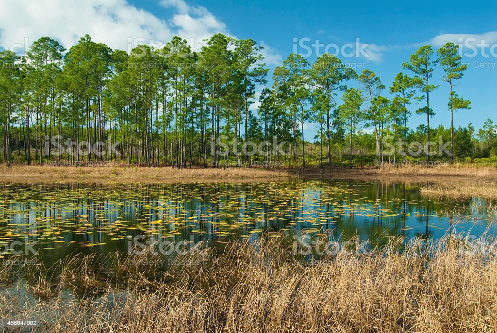 Pine Trees and Pond stock photo