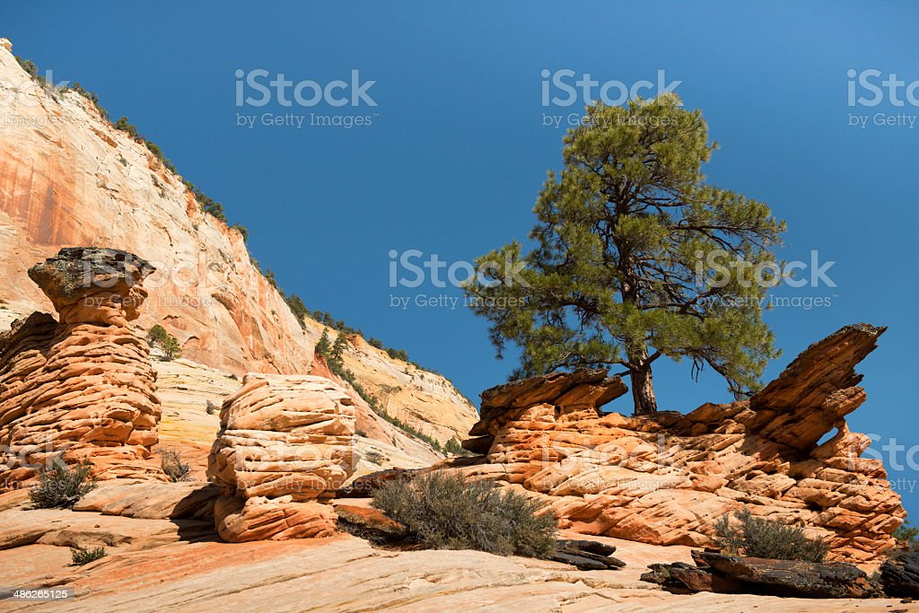Pine trees and rocks in Zion National Park stock photo