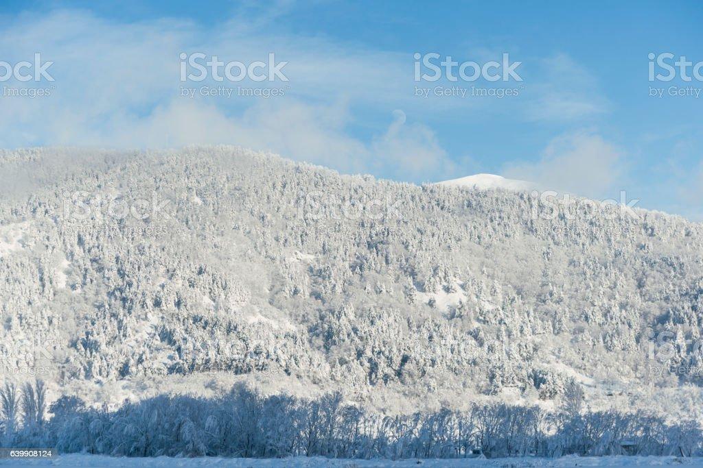 Pine trees and snow stock photo