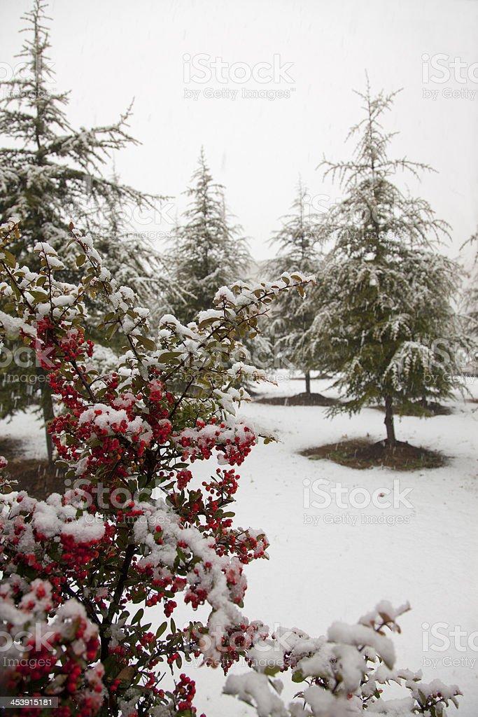pine trees at ankara turkey royalty-free stock photo