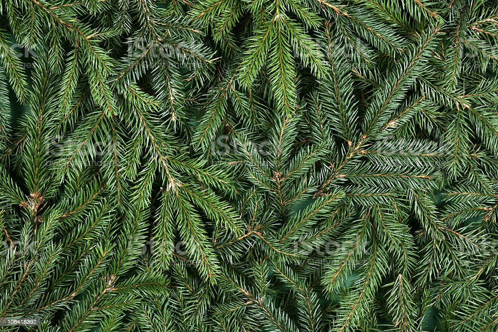 Pine trees branches and leaves background stock photo